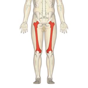 longest bone in the human body - femur