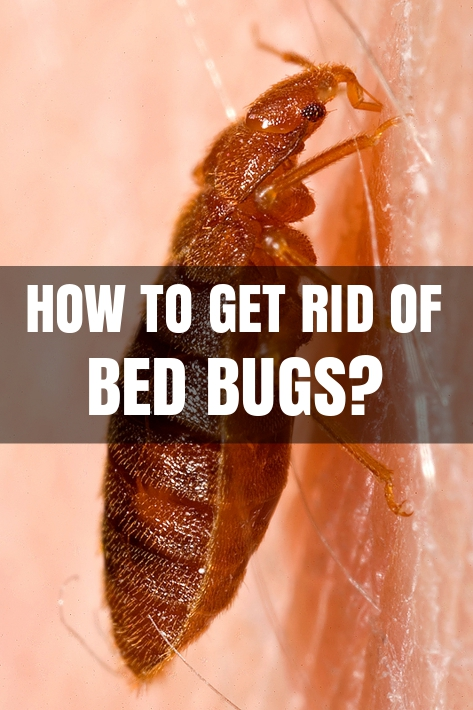 How To Get Rid Of Bed Bugs In Your Bed
