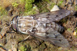 Horse Fly Remedies