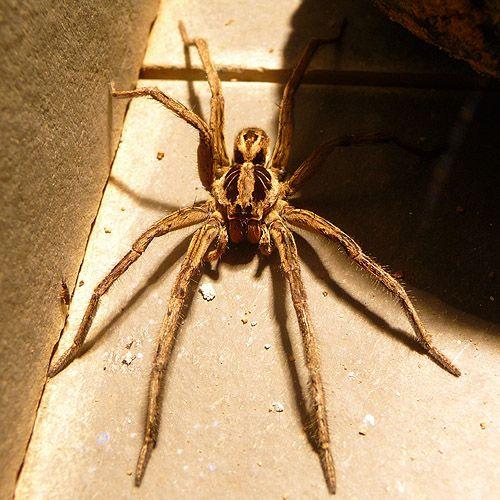 Brazilian Wolf Spider