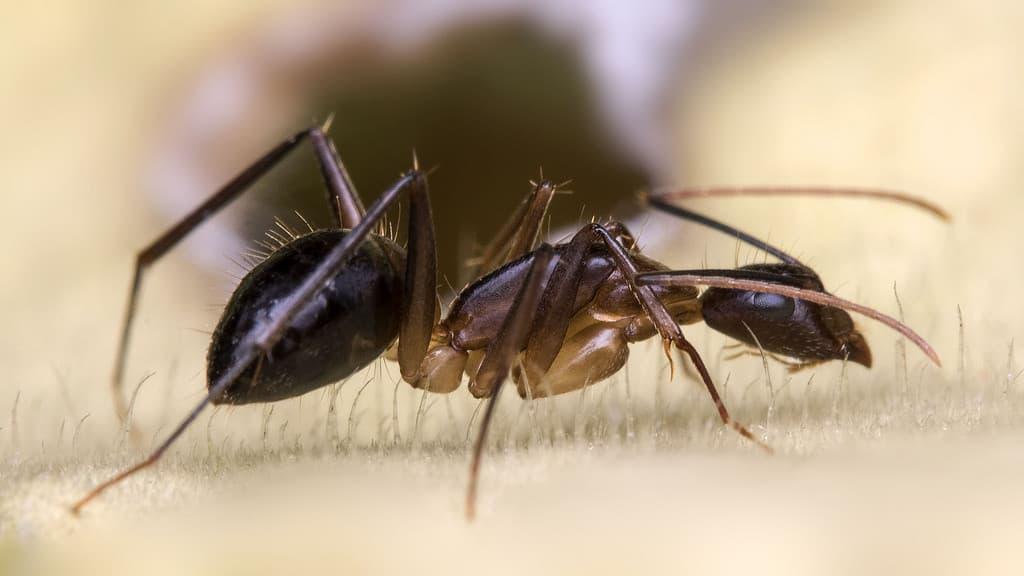 How Do I Get Rid Of Carpenter Ants Naturally