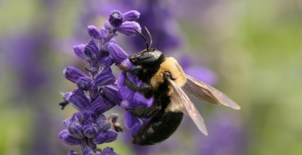 How To Get Rid Of Carpenter Bees How To Kill Carpenter