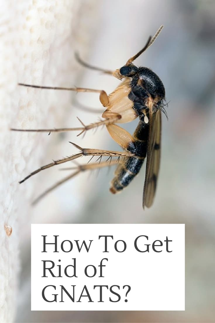 How to Get Rid Of Gnats in House with Home Remedies?