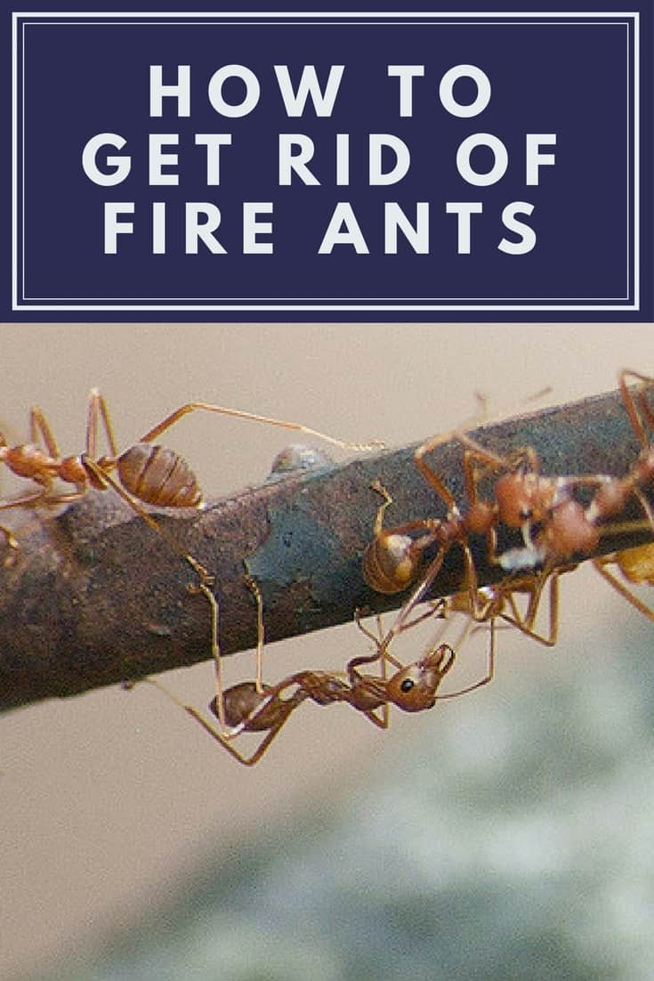 Naturally Get Rid Of Fire Ants