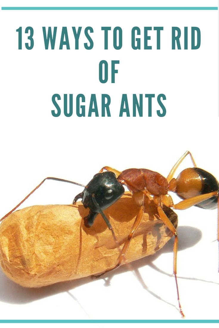 how to get rid of sugar ants?