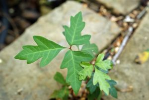 get rid of poison ivy