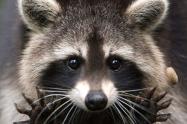 how to get rid of raccoons on deck