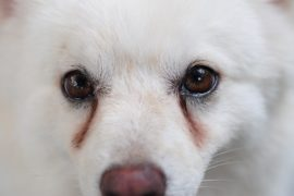 Hoe to remove your dog's tear stains